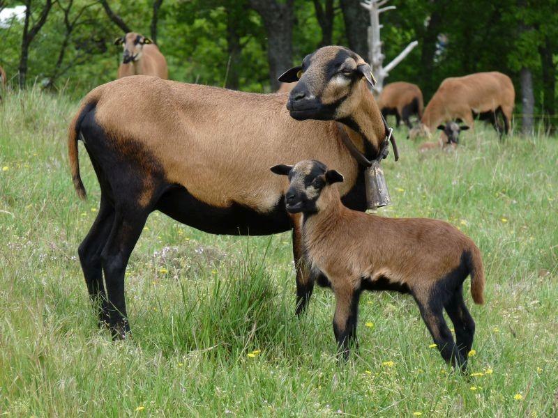 28 brebis et agneau mouton cameroun jpg